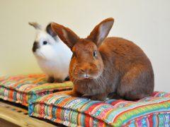 Vad säger kaninen?