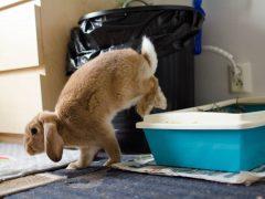 Gör kaninen rumsren