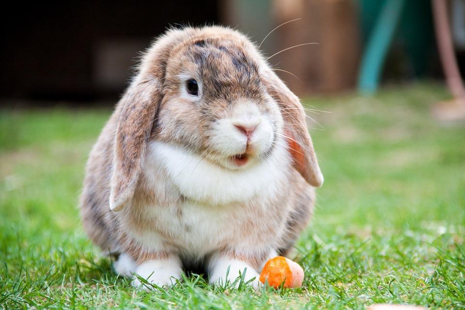 Det vanliga fodret som gör kaniner sjuka