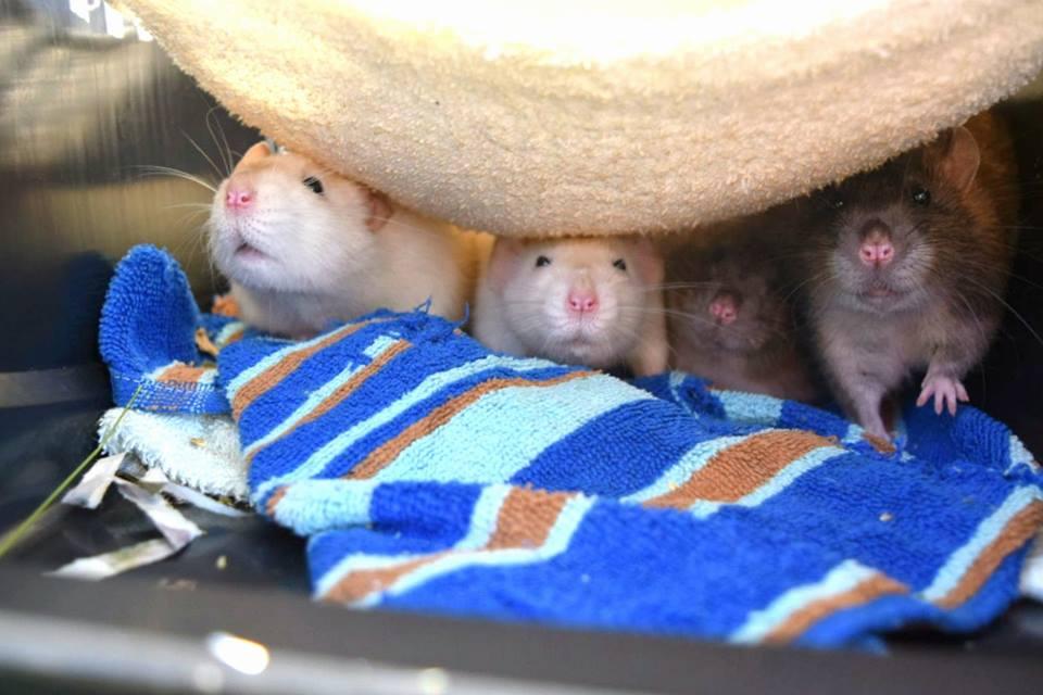 Vanliga Råttsjukdomar
