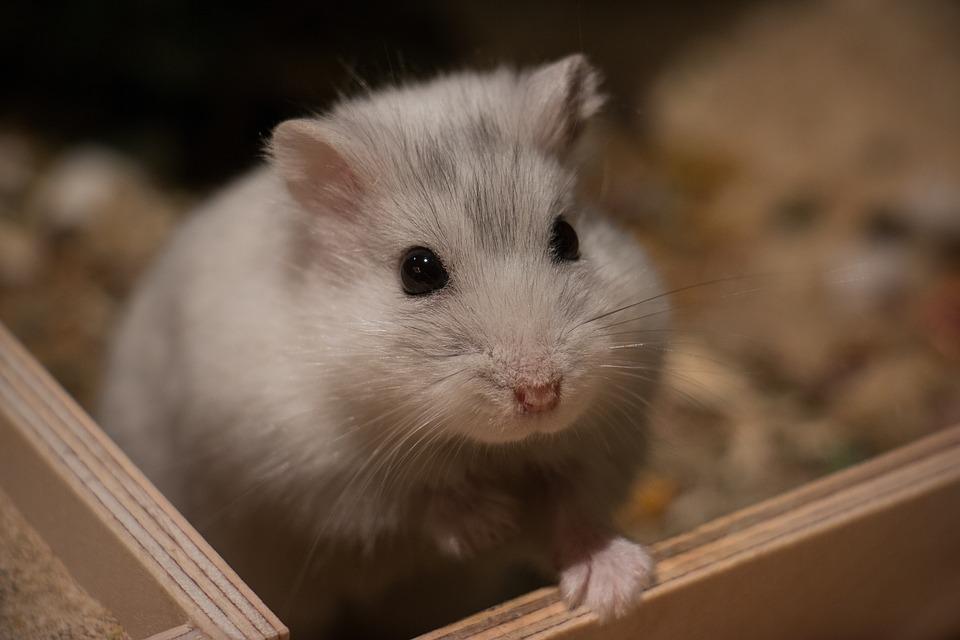 Vanliga Hamstersjukdomar