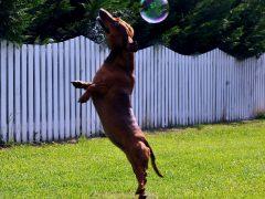 Hunden som hoppar