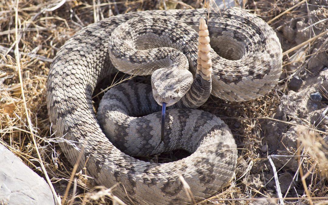 Så försvarar sig ormar – inte som du tror!