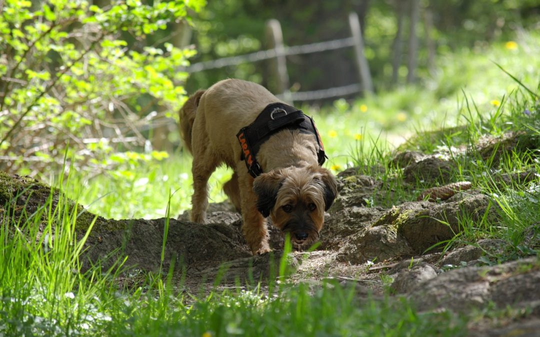 Nosaktivetet för hund – lär hunden spåra